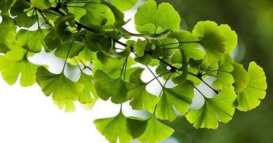 Ginkgo Biloba. ¡Una potente planta medicinal que debes tener en ...